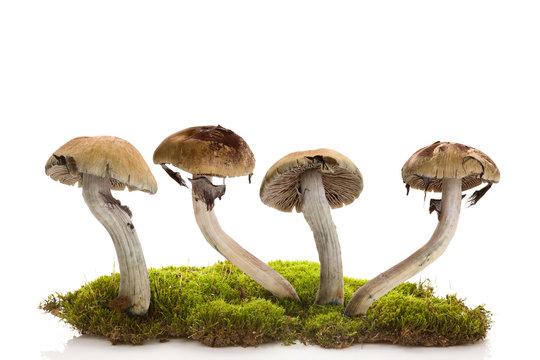 Fresh magic mushrooms on moss  isolated over white background.