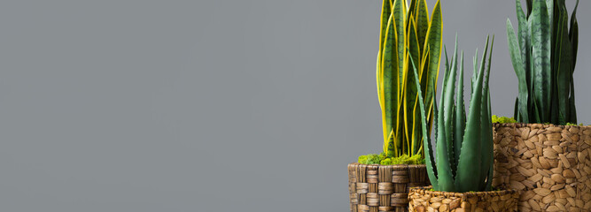 Snake plants in pots on grey background