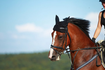 Young horse in close-up, head portraits with rider on a field.