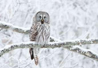Photo sur Aluminium Chouette Great Grey Owl perched in a tree in winter