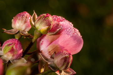 Pink roses on a green bush in garden with watter drops