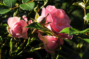 Pink roses on a green bush in garden