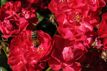 Red roses with bee a green bush in garden