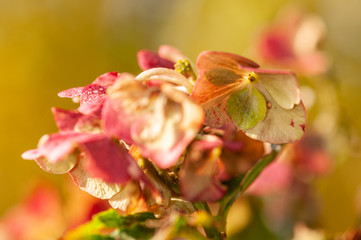 Old hortensia blossom in garden with vivid background