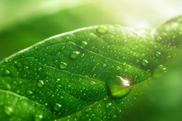 Macro large dew or raindrops on a green leaf, close-up. Summer forest in morning glow at sun day