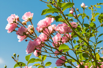 Pink roses on a green bush in garden with blue sky