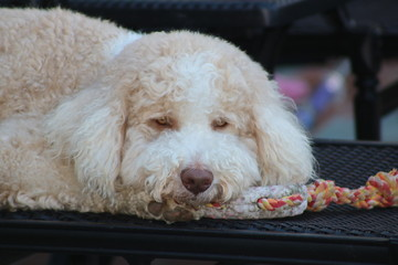 Tired Labradoodle