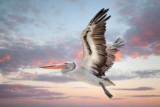 Australian pelican flying in sky during sunset