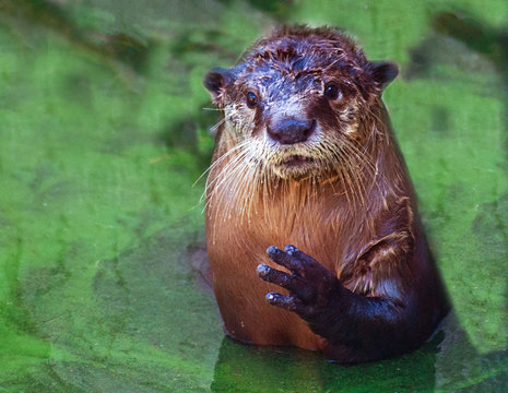 Portrait of cape clawless otter in river