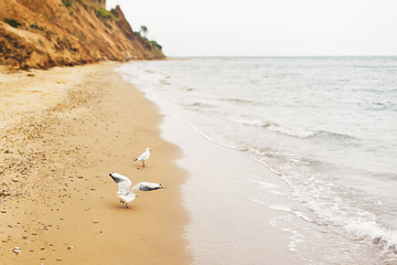 Seagulls walking on sandy beach near sea waves. Wild birds on shore of ocean, windy weather....