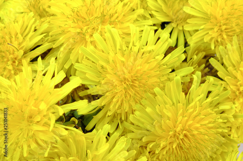 A bunch of beautiful dandelions flowers background. Springtime nature.