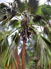 Coco de Mer palmtree on the Seychelles island
