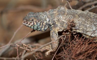 Lizard detail