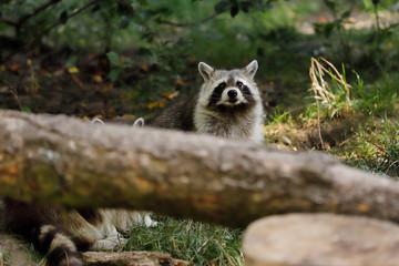 Portrait of sitting adult common raccoon