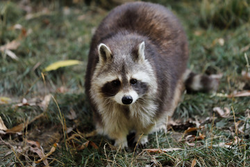 View of full body of male adult common raccoon