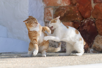 Two feral cats have a fight, Aegean island, Cyclades, Greece