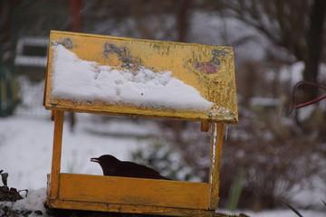 Fototapeta Kos ,kos w karmiku ,ptaki zimą ,dziki ptak