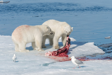 Two young wild polar bear cubs playing on pack ice in Arctic sea, north of Svalbard