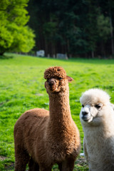 Alpacas Llamas Lamas in Wales, UK