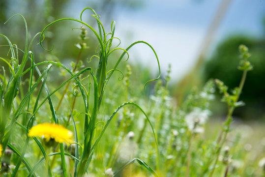 Overgrown weeds in a meadow