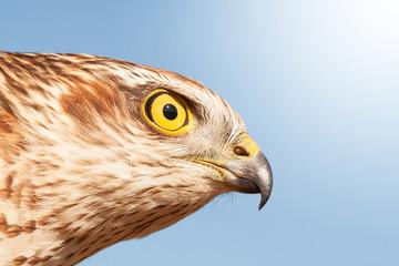 sparrow hawk Fototapete