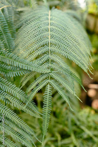 Vertical photo of ostrich fern leaves in greenhouse