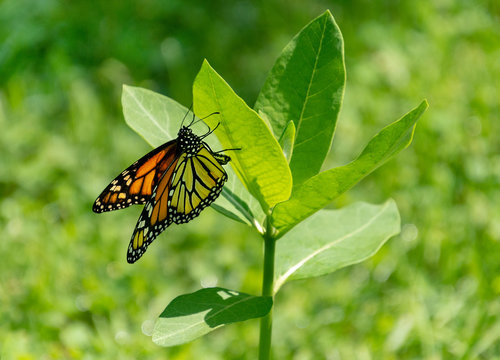 Beautiful monarch butterfly laying egg on milkweed plant
