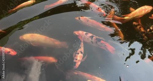 Twilight In Koi Pond >> Group Of Various Colourful Large Koi Carp Kohaku Or Japanese Koi