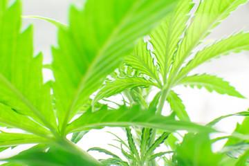 Planting cannabis. Cannabis grow operation. Marijuana business. Macro shot. Hemp flower Indoors growing. Home Grow legal Recreational Marijuana.