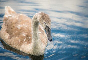 Signet Swan on a lake.