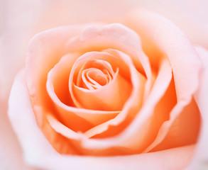 close up pink rose flower soft focus.
