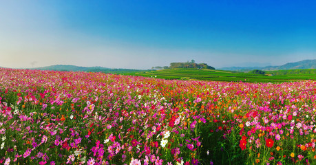 Wall Mural - Landscape nature background of beautiful cosmos flower field