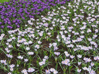 Colorful crocus bloom at the Keukenhof Gardens