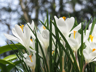 Photo sur Plexiglas Crocus Colorful crocus bloom at the Keukenhof Gardens