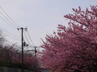 桜 街 風景