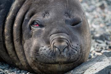 head of an elephant seal