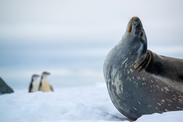 Weddell seal and penguins