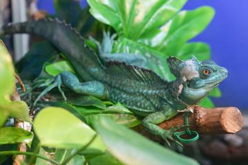 Basiliscus basiliscus,  Basiliscus plumifrons. A large green Helmet-bearing Basilisk sits on a tree branch in a terrarium. Basilisk shedding its skin, scales, shed.