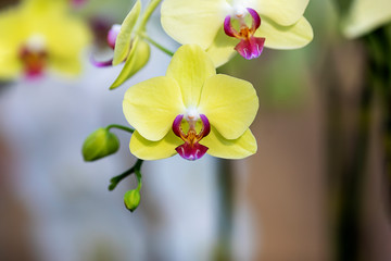 Close-up yellow orchid in the gaden