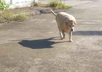 Fat Labrador Retriever 14 years old Walking on a concrete road