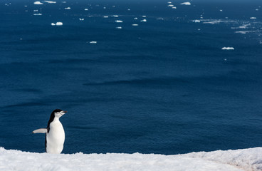 chistrap penguin in antarctica