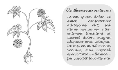 Banner with Siberian Ginseng and Place for Text