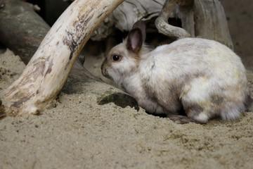 Full body of beige-grey domestic pygmy rabbit (bunny)