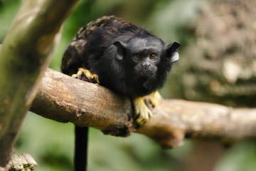 Portrait of female red-handed midas tamarin monkey. New World monkey