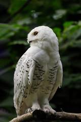 Full body of female snowy owl on the tree branch