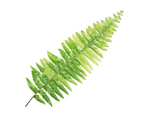 Green leaves Boston fern tropical plant (Athyrium niponicum Marble Star) isolated on white background, clipping path included