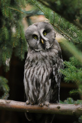 Full body of adult male great grey owl (Strix nebulosa) on the tree branch