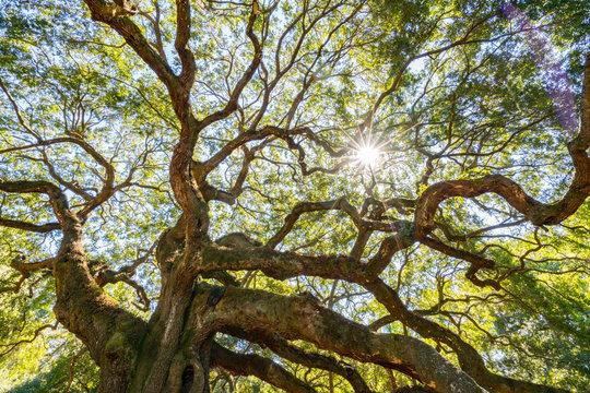 Angel Oak Live Oak Tree in Charleston, South Carolina