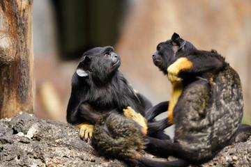 Family of the red-handed midas tamarin monkeys. New World monkey