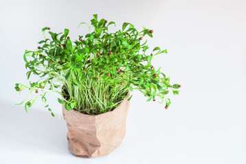 green sprouts of coriander in paper box, ecological pot with plant, white background, healthy plant and food